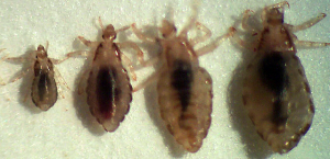 Lice in different development stages