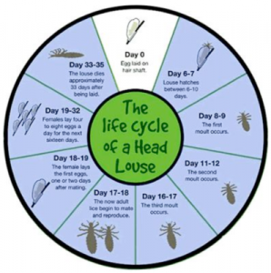 lice-life-cycle-397x400